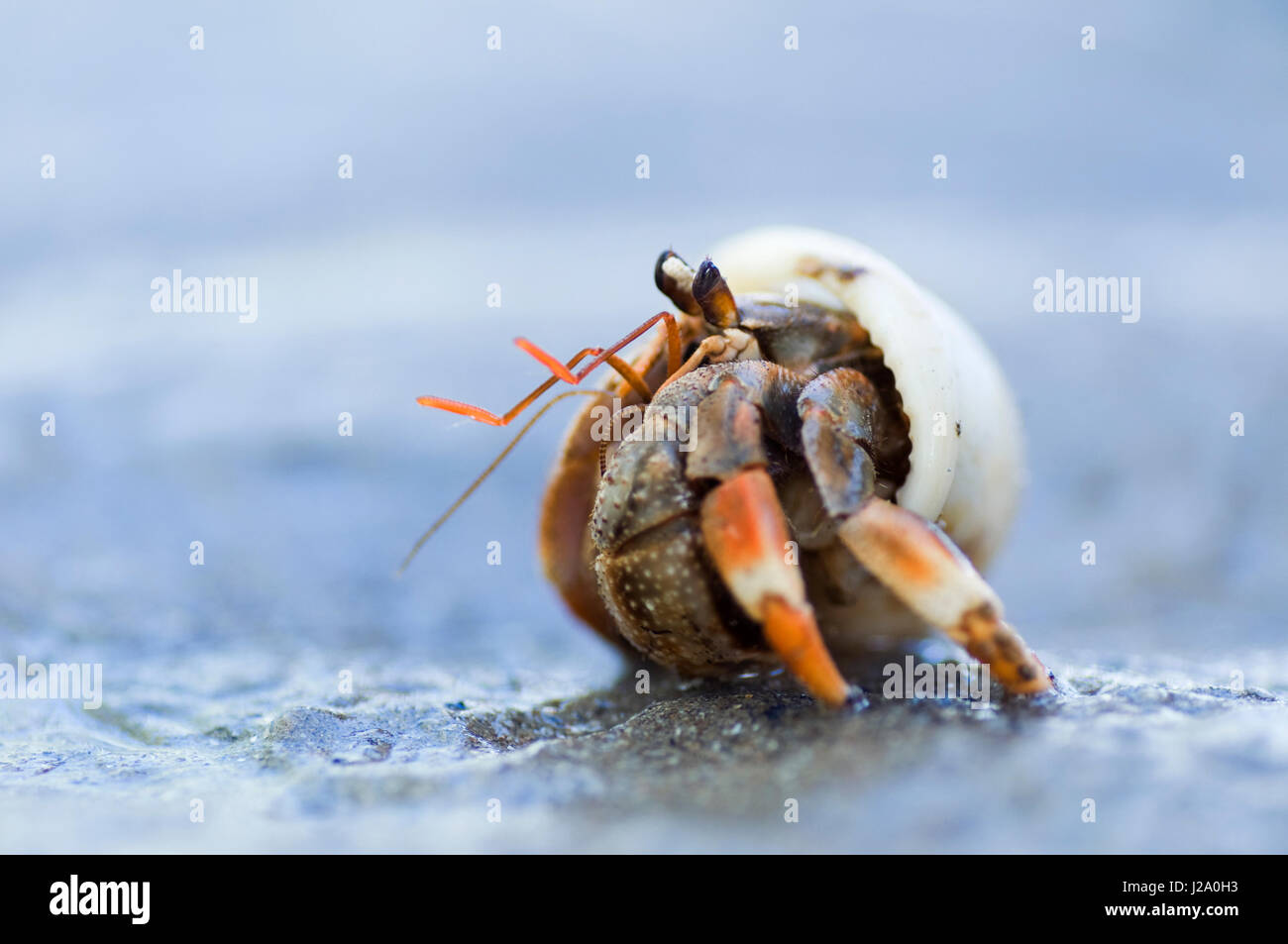 Macro picture of a Land Hermit crab on the beach of Borneo, Sarawak - Stock Image