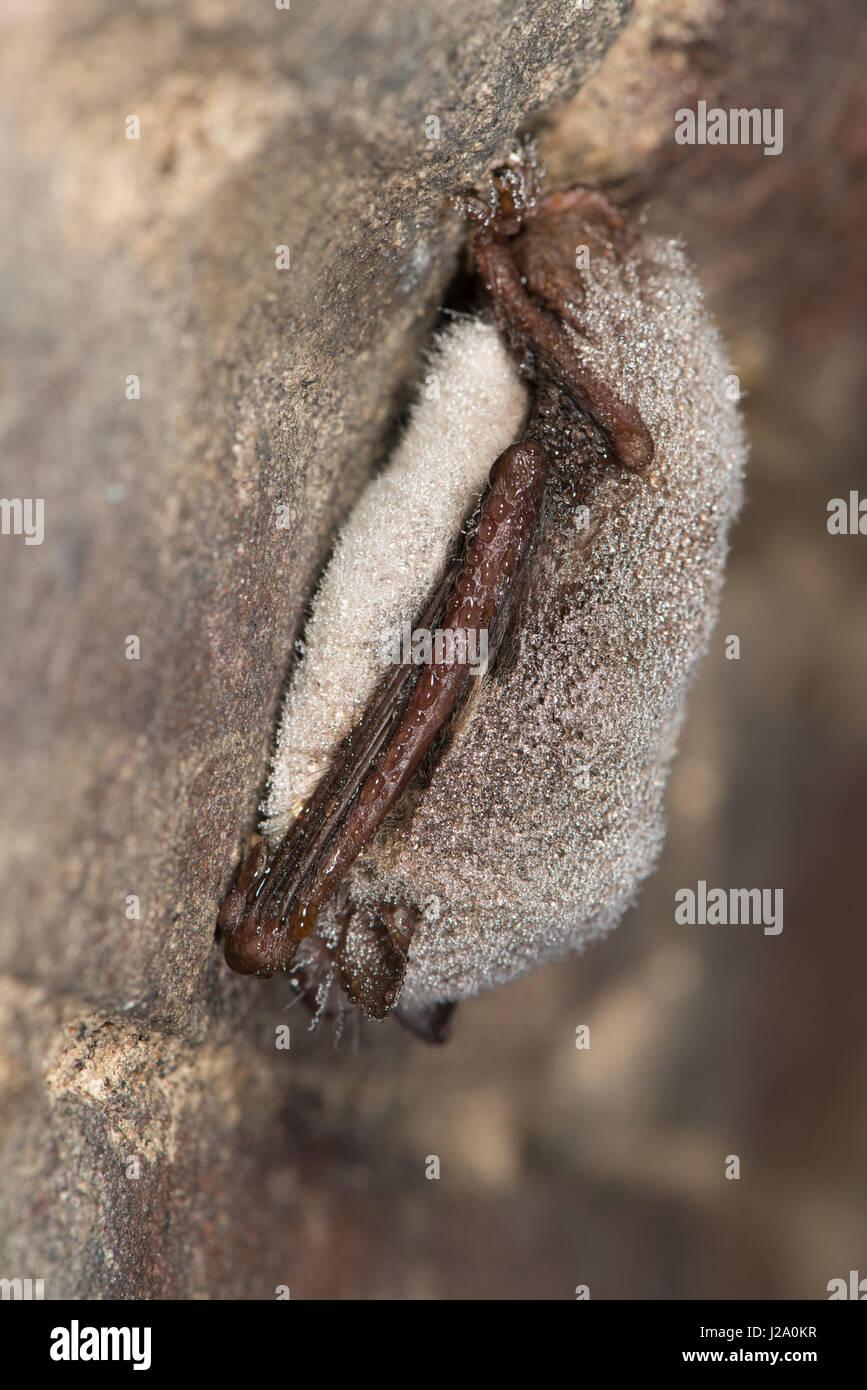 Hibernating daubenton\'s bat in cellar Stock Photo