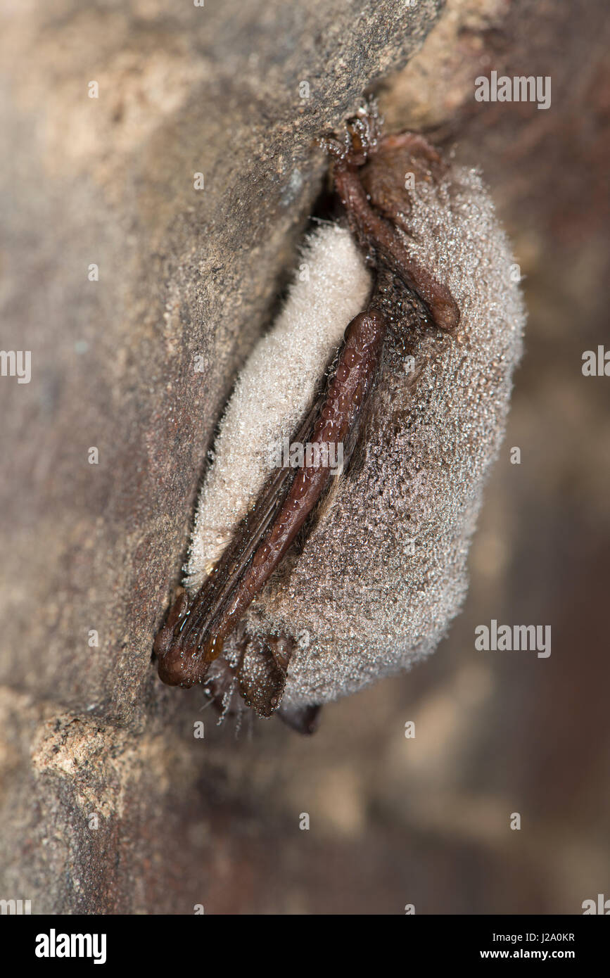 Hibernating daubenton's bat in cellar - Stock Image