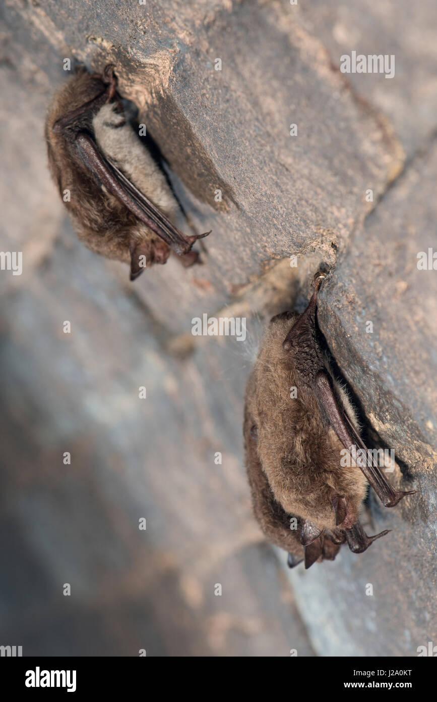 Three hibernating daubenton's bats in a cellar - Stock Image