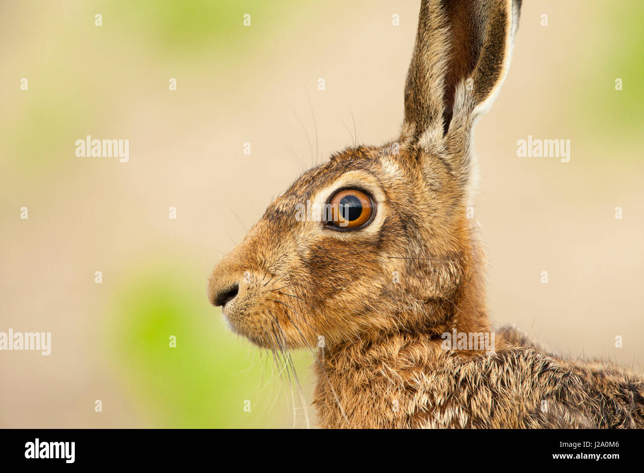 Brown Hare  adult head and shoulders close-up shot in profile  Powys, Wales, UK - Stock Image