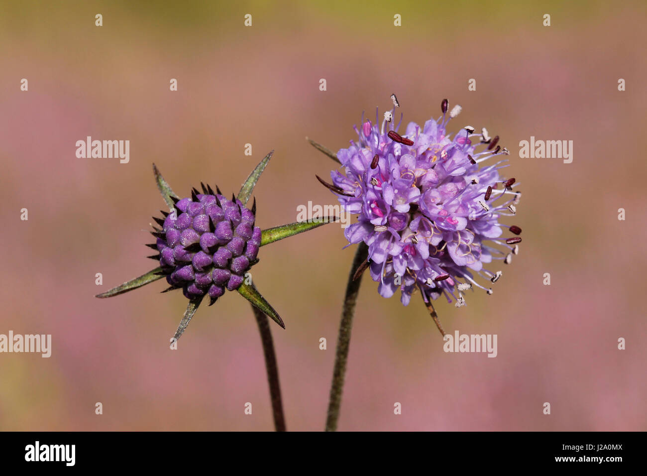 The flowers and buds of the Devil\'s-bit Scabious have a beautiful lila and blue-purple colour. Stock Photo