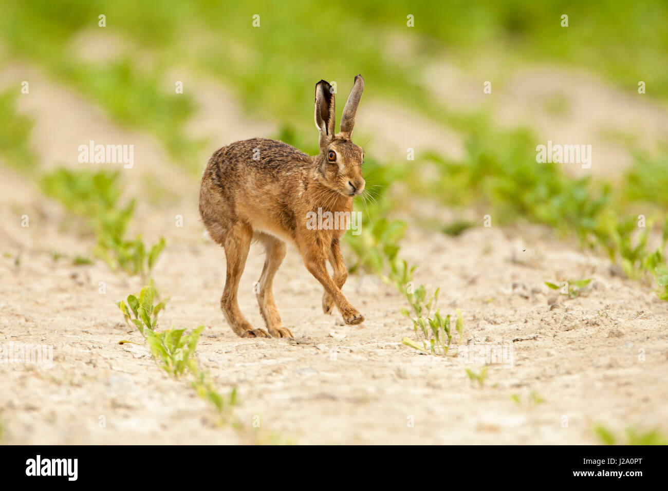 Brown Hare  adult running across a crop field  Powys, Wales, UK - Stock Image