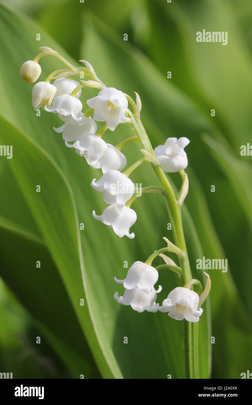 The lily of the valley has white bell shaped flowers stock photo the lily of the valley has white bell shaped flowers izmirmasajfo