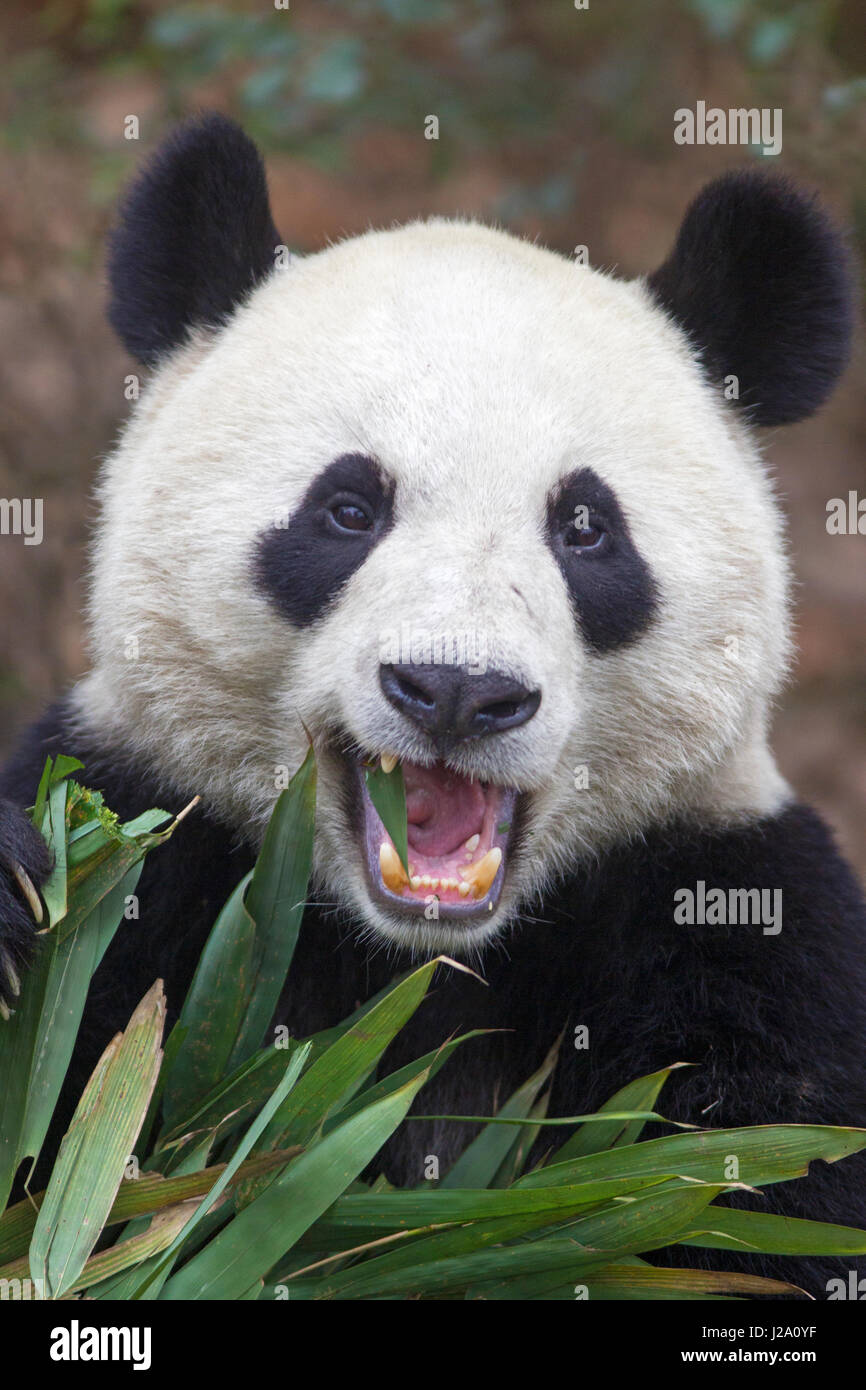 portrait of a giant panda feeding on bamboo - Stock Image