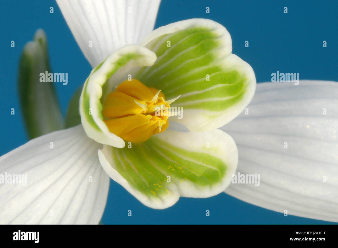 Macro image of a flowering Common Snowdrop - Stock Image