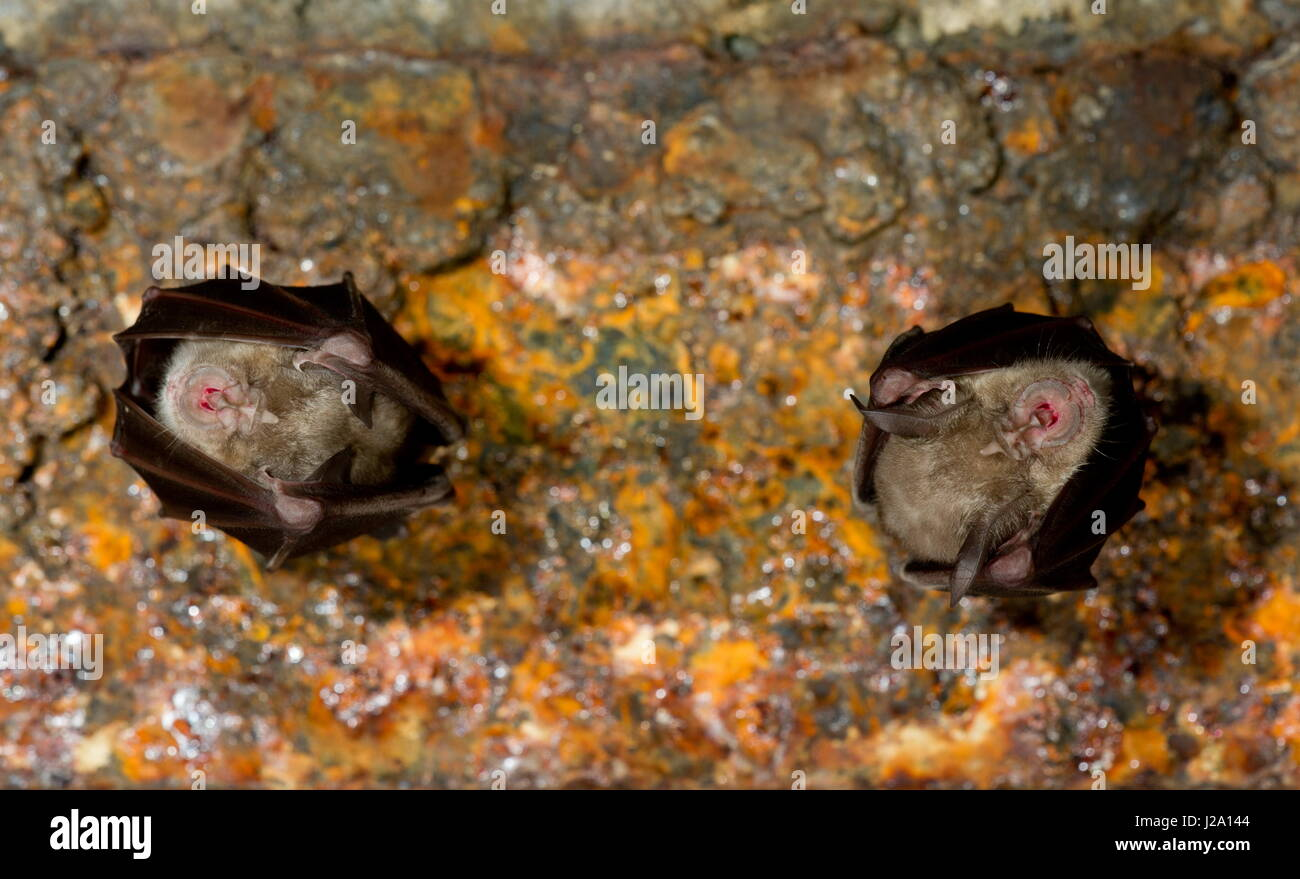 Horseshoe bats are very rare in Belgium. There are only a few caves where greater horseshoe bats spend the chilly - Stock Image