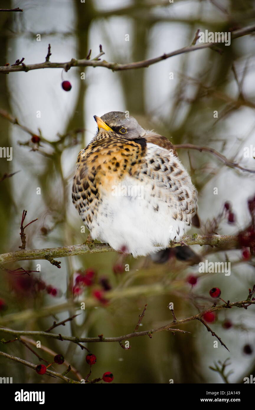 The Fieldfare (Turdus pilaris) is a member of the thrush family Turdidae. It breeds in woodland and scrub in northern - Stock Image