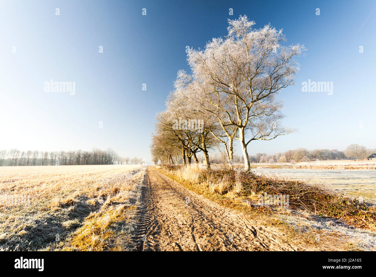 Trees with frost at a sand path in Lieveren. - Stock Image