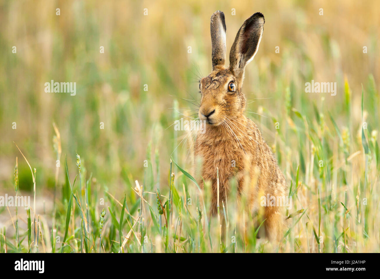 Brown Hare  adult sitting in wheat field  Powys, Wales, UK - Stock Image