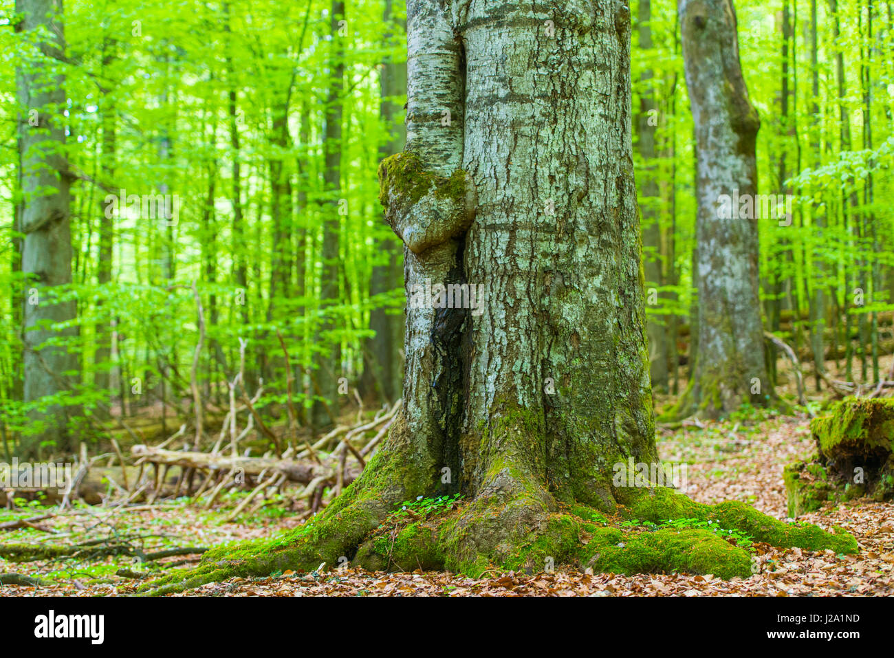 Primeval forest in the Bavarian forest National Park in Germany Stock Photo