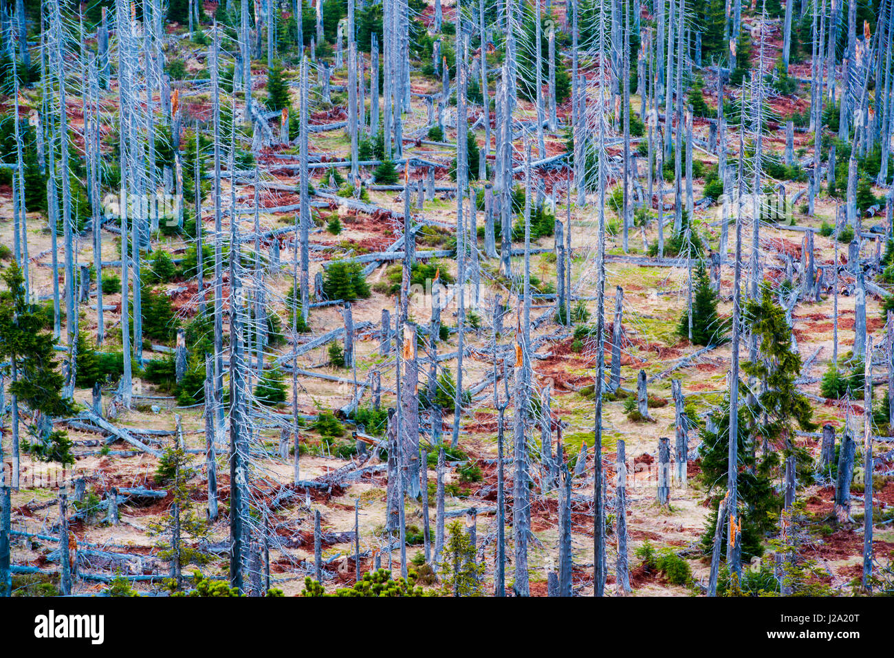 the Lusen mountain in the bayerischer wald national park in germany with forests affected by acid rain and european - Stock Image