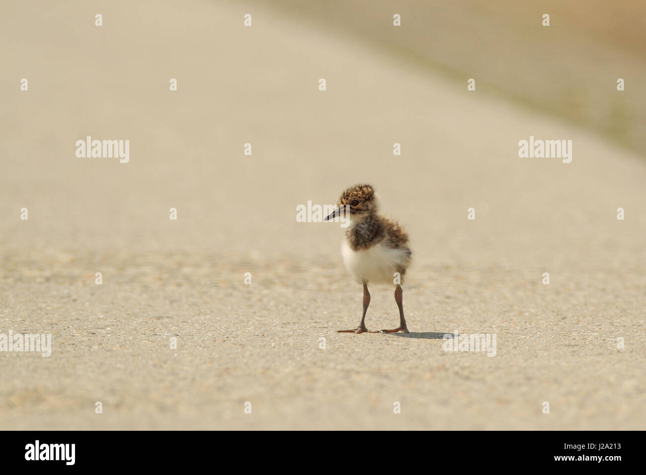 Young lapwing went out for a walk on the street, not realizing the risk of being hit by the traffic - Stock Image