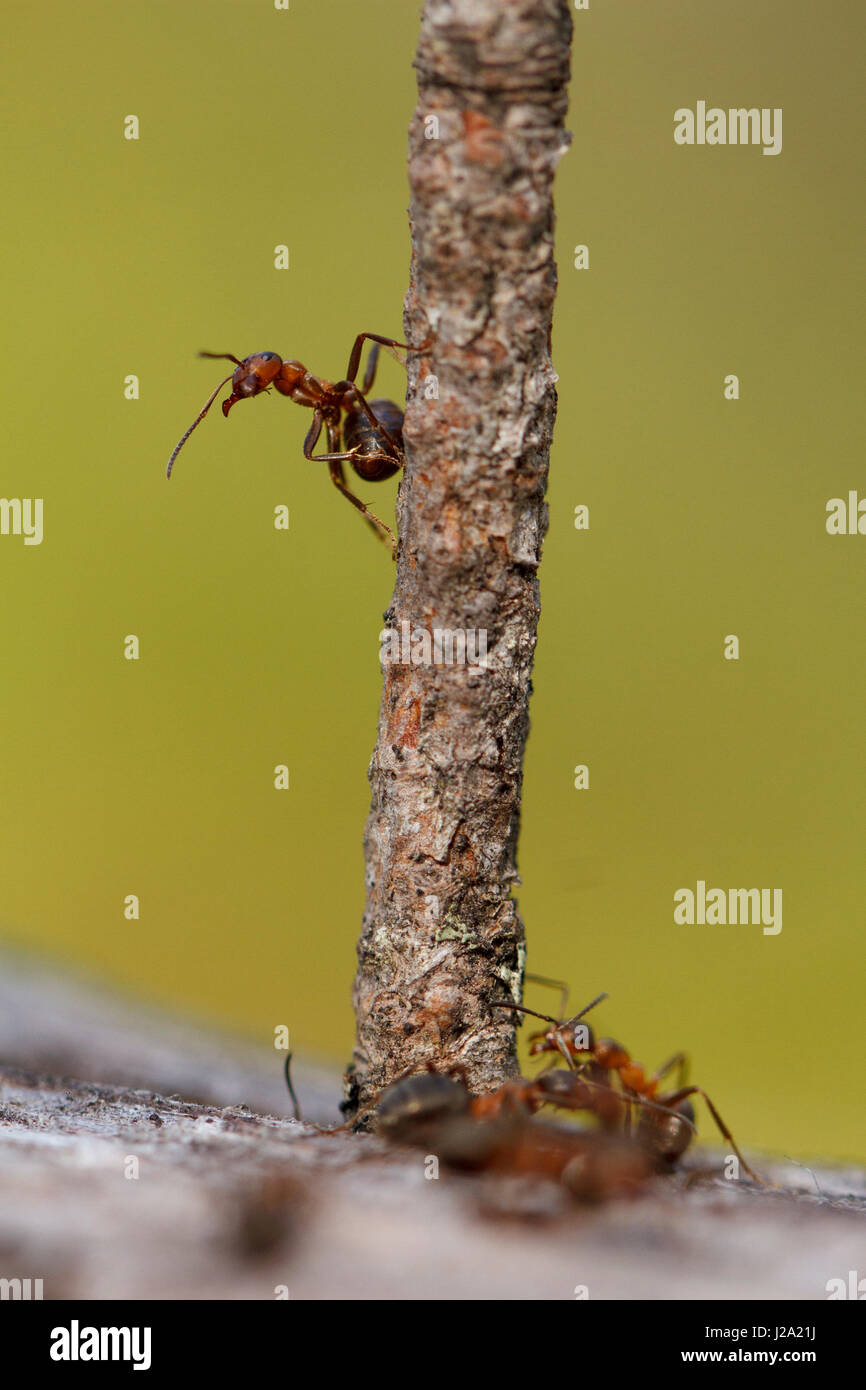 red wood ant on branch Stock Photo