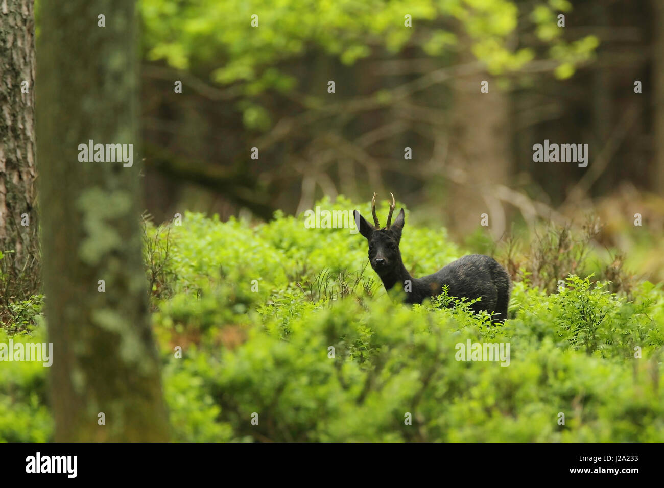 Rarity: Black Roe Deer buck in the forest. - Stock Image