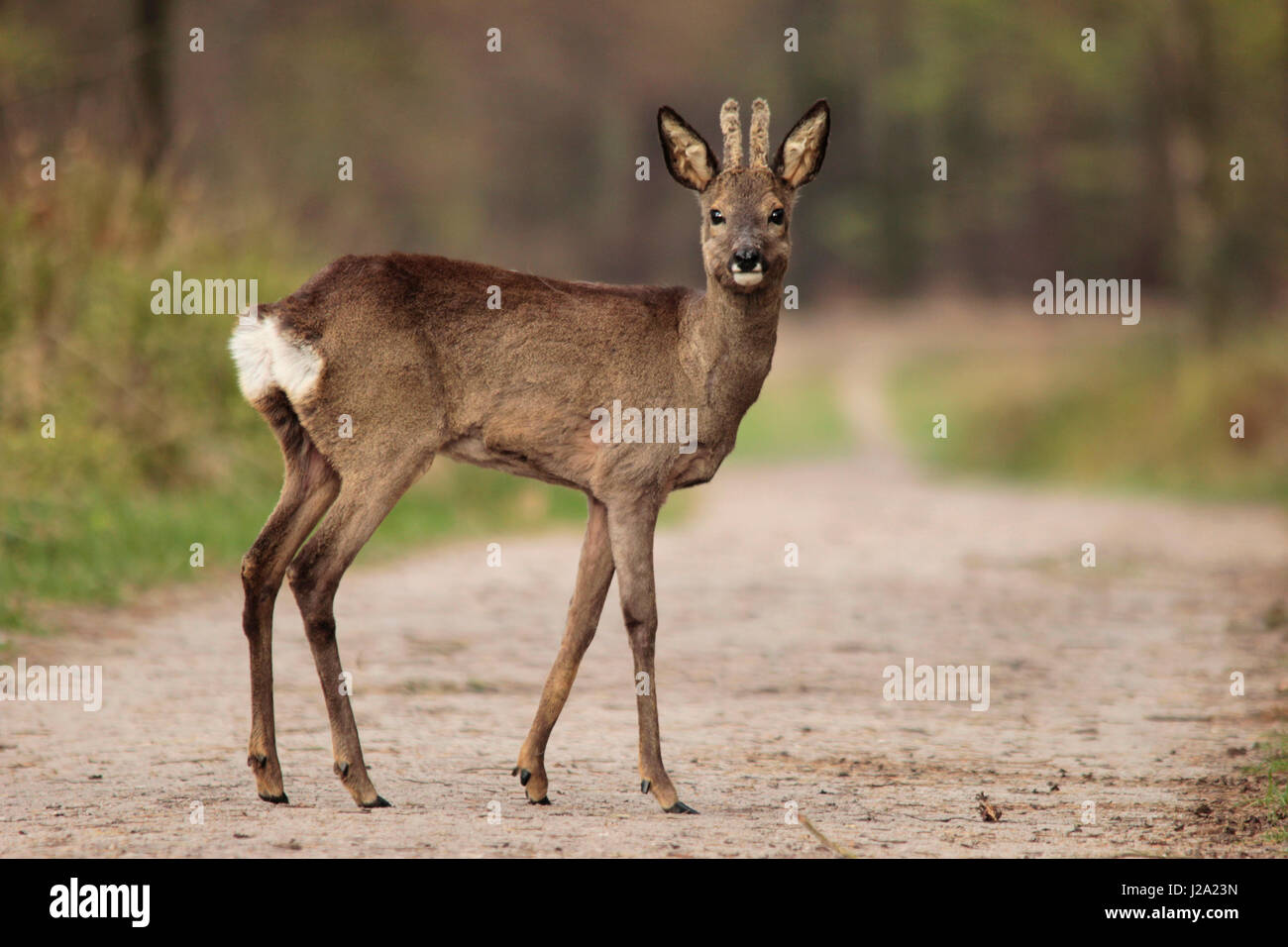 Roe deer in a forest, early spring Stock Photo