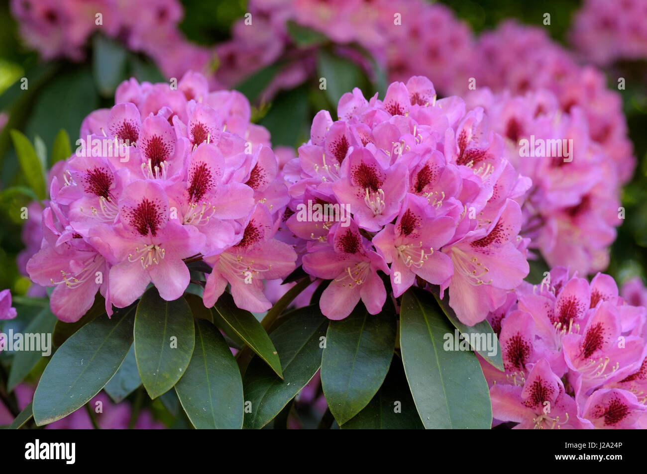 Rhododendron in flower - Stock Image