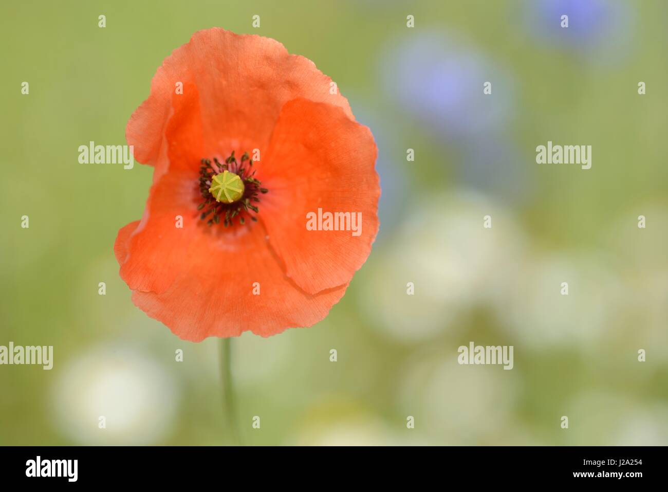 Flowering Long-headed Poppy in wheat field - Stock Image