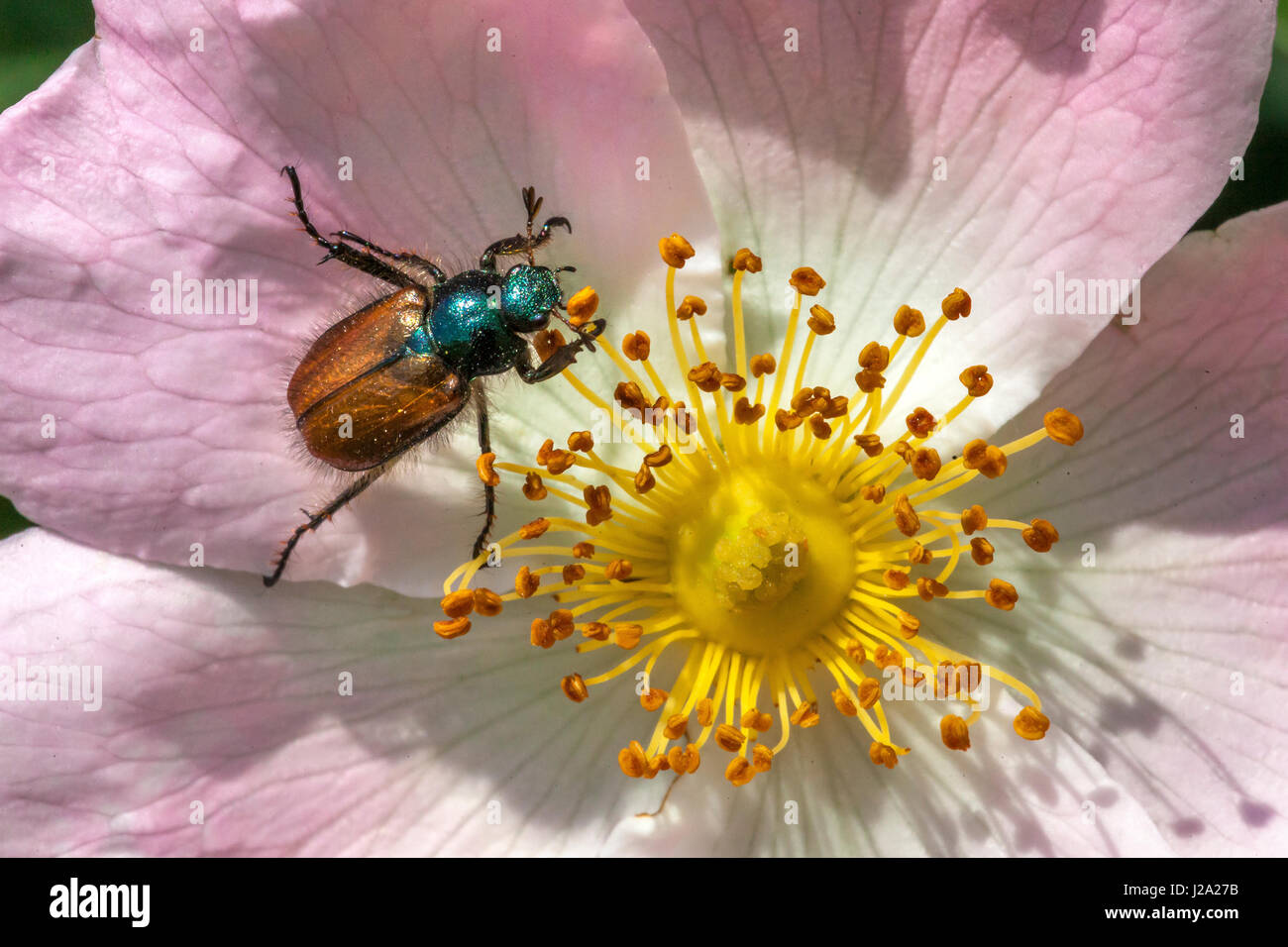 Chaver Beetle on dog rose in a thicket in Deventer. - Stock Image