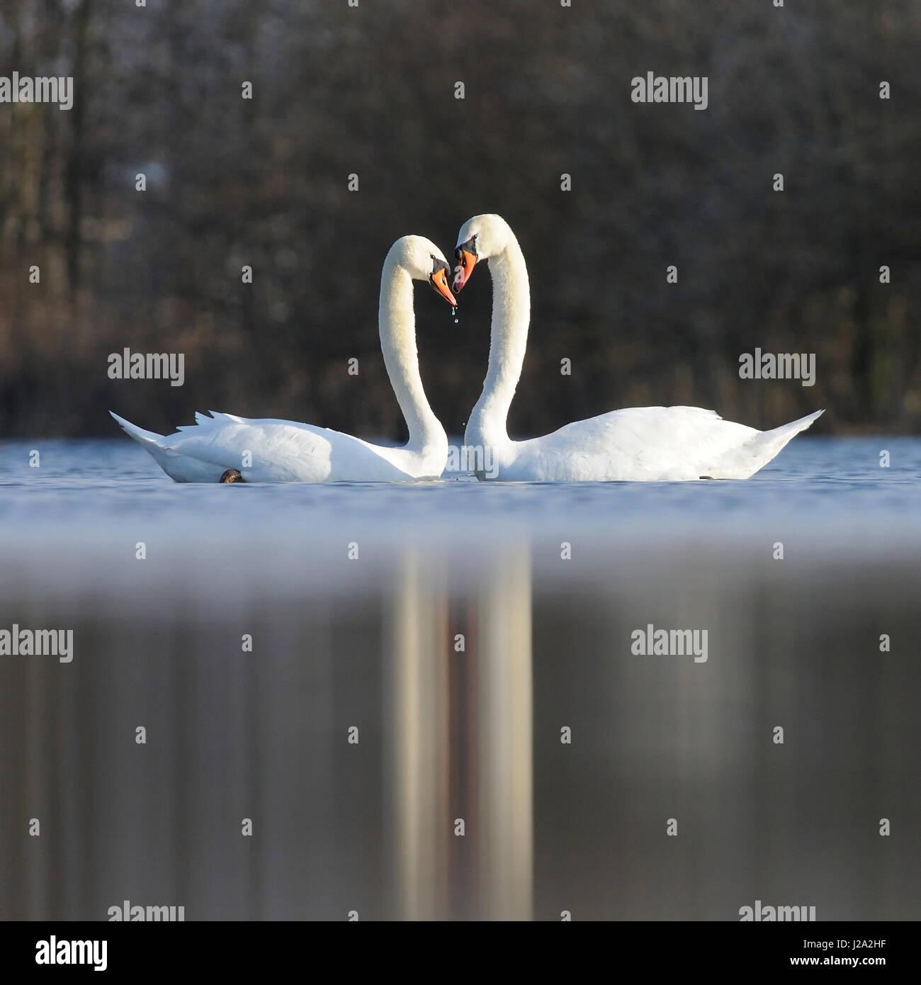 Mute Swans (Cygnus olor) in love Stock Photo