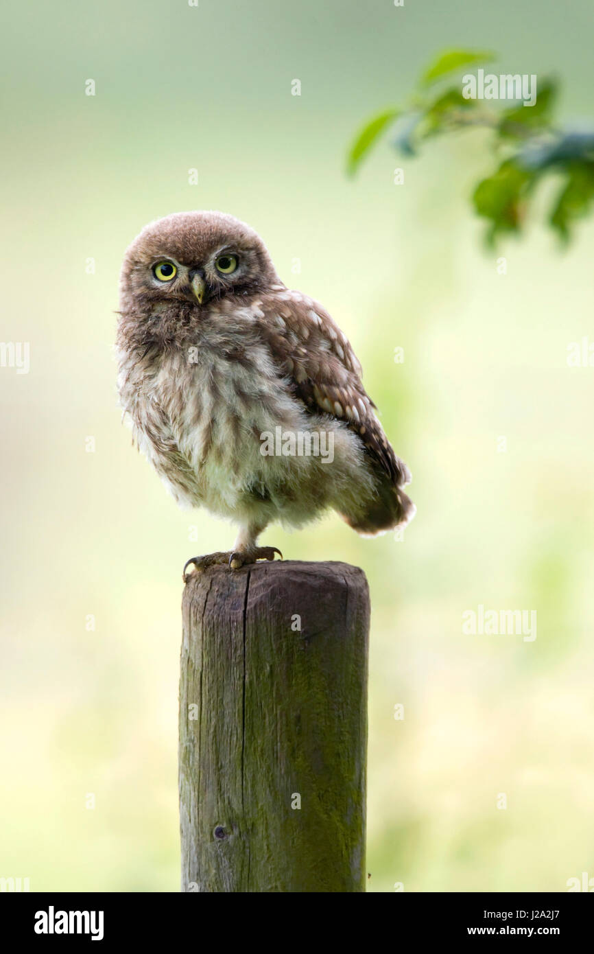 Portrait image of a juvenile little owl on a fence post - Stock Image