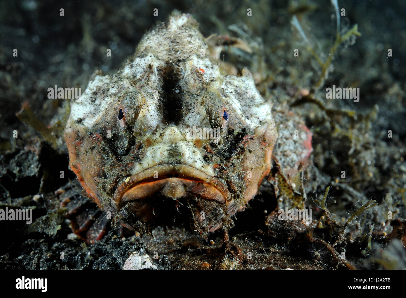 The Demon stinger fish buries itself in partially to suddenly grab prey from the ambush - Stock Image