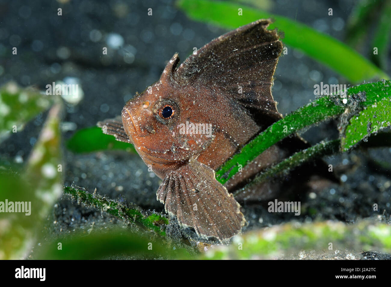 The spiny leaf fish resembles a fallen tree leaf that has sunk to the bottom - Stock Image