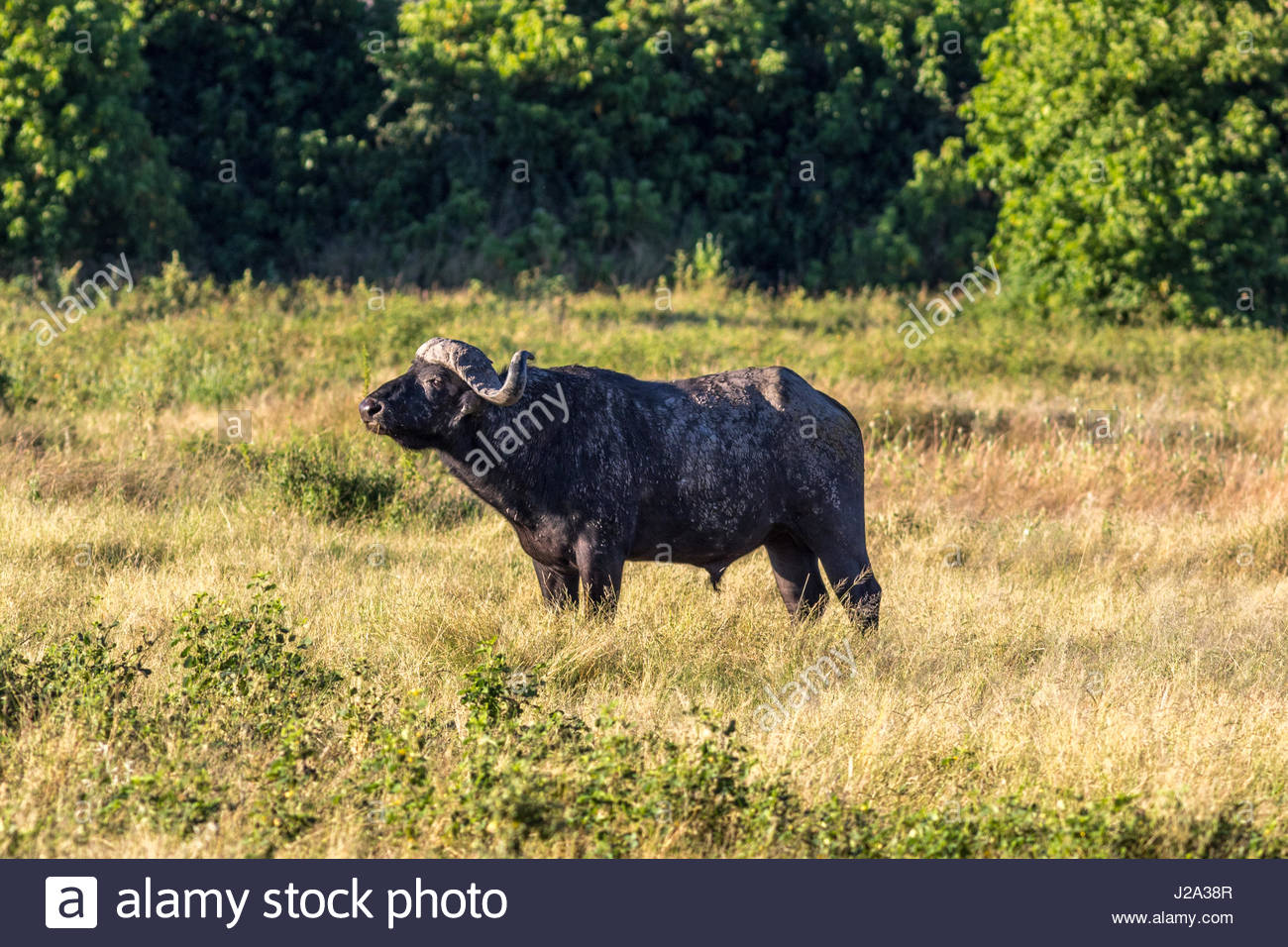 A male Buffalo standing sideways to the camera in a typical pose. - Stock Image