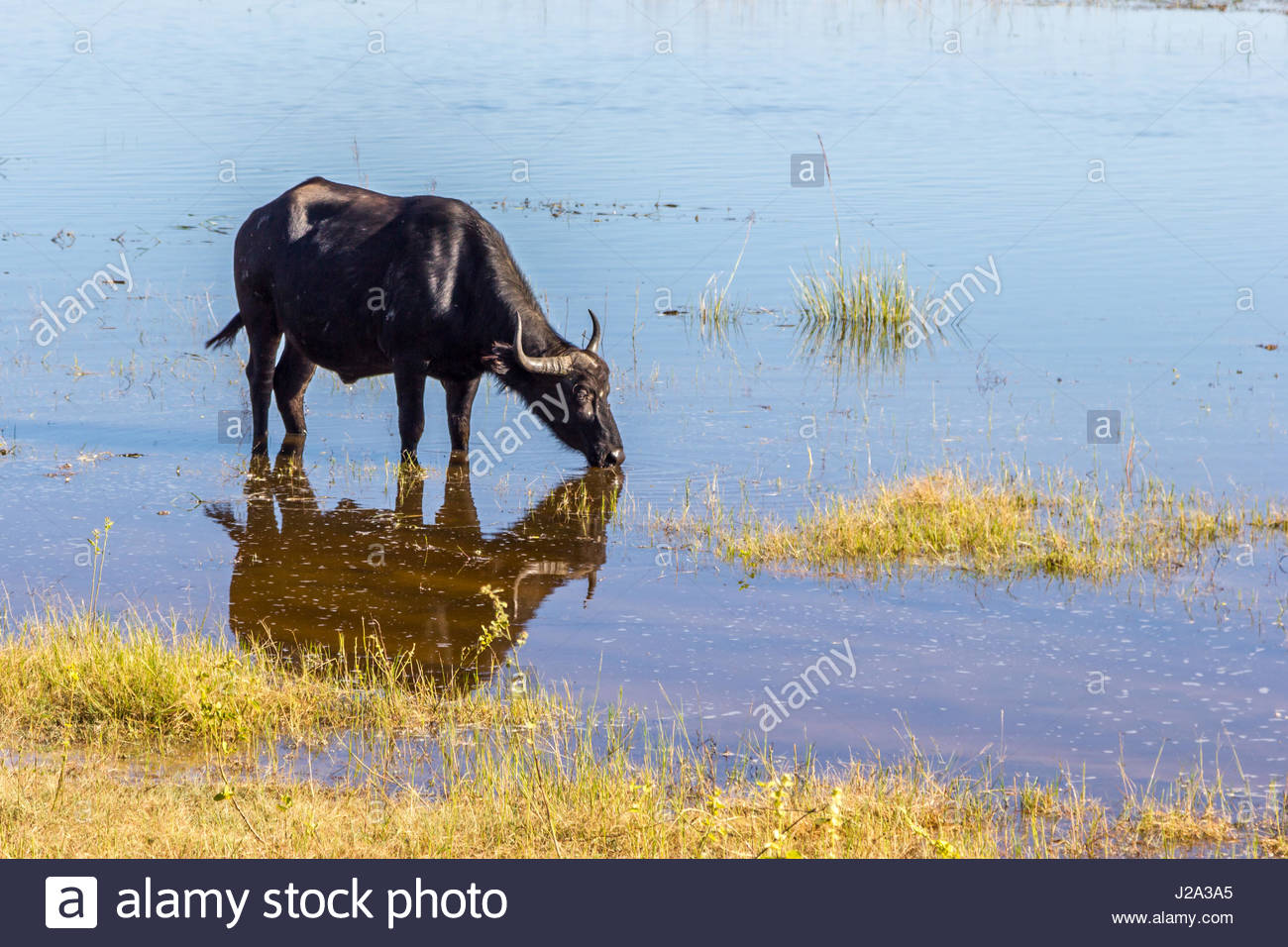 A female Buffalo reflected in still waters at the edge of the Chobe River in the Chobe National Park. Stock Photo