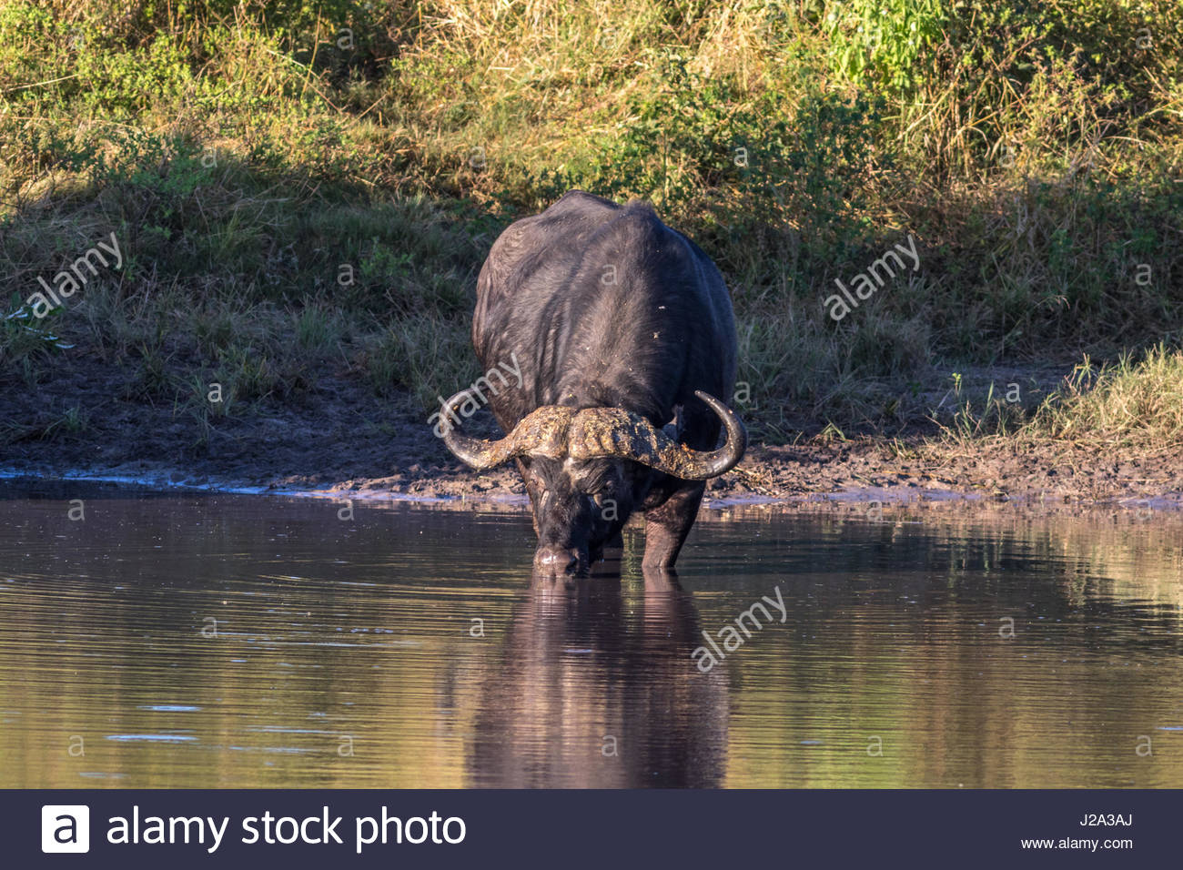 A male Buffalo reflected in still waters at the edge of the Chobe River in the Chobe National Park. - Stock Image