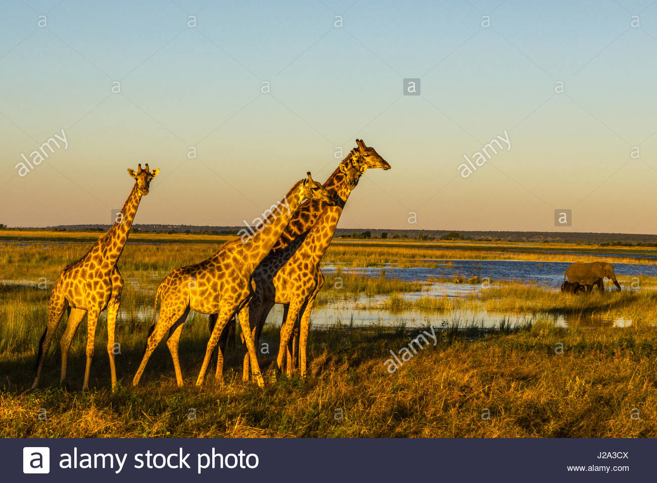 A group of Giraffe walk alongside the Chobe River in the setting sun, whilst an Elephant and Calf grave nearby. - Stock Image