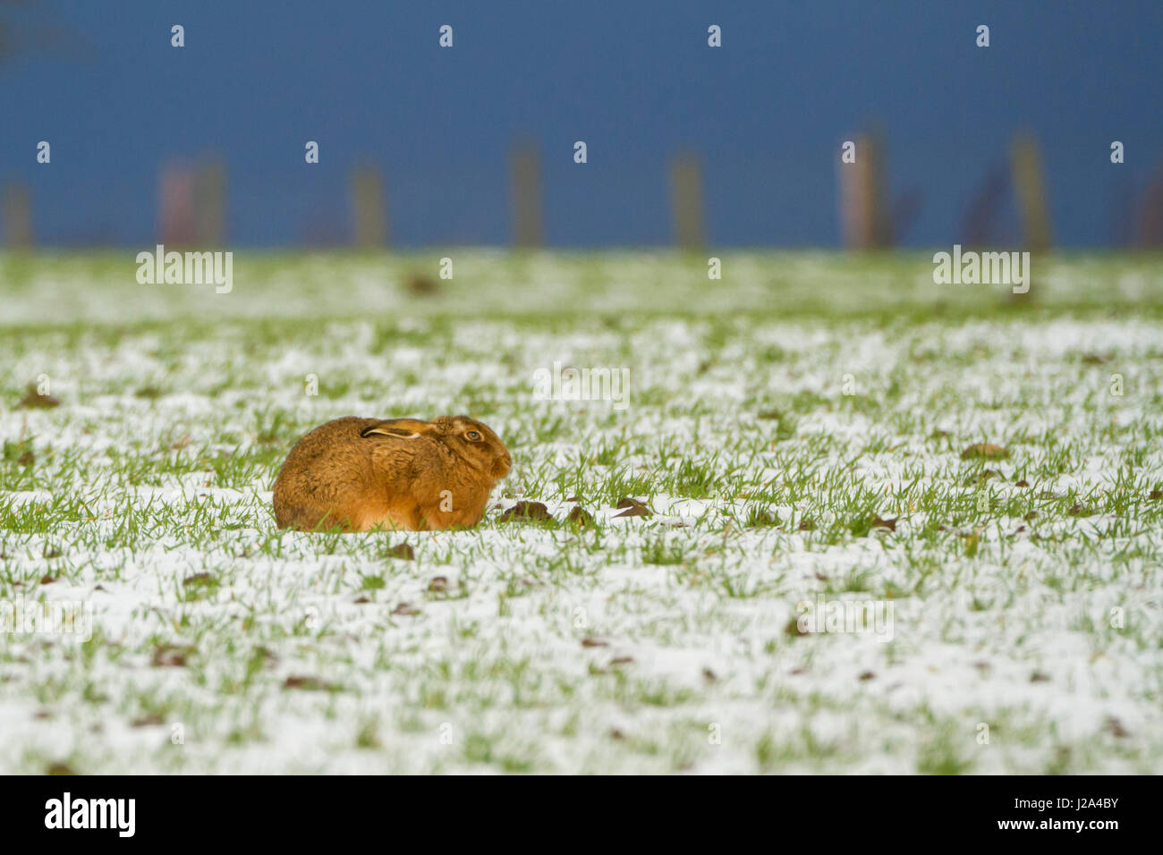 Brown Hare  Adult hunkered down on snow covered ground  Winter  West Midlands, England, UK. - Stock Image