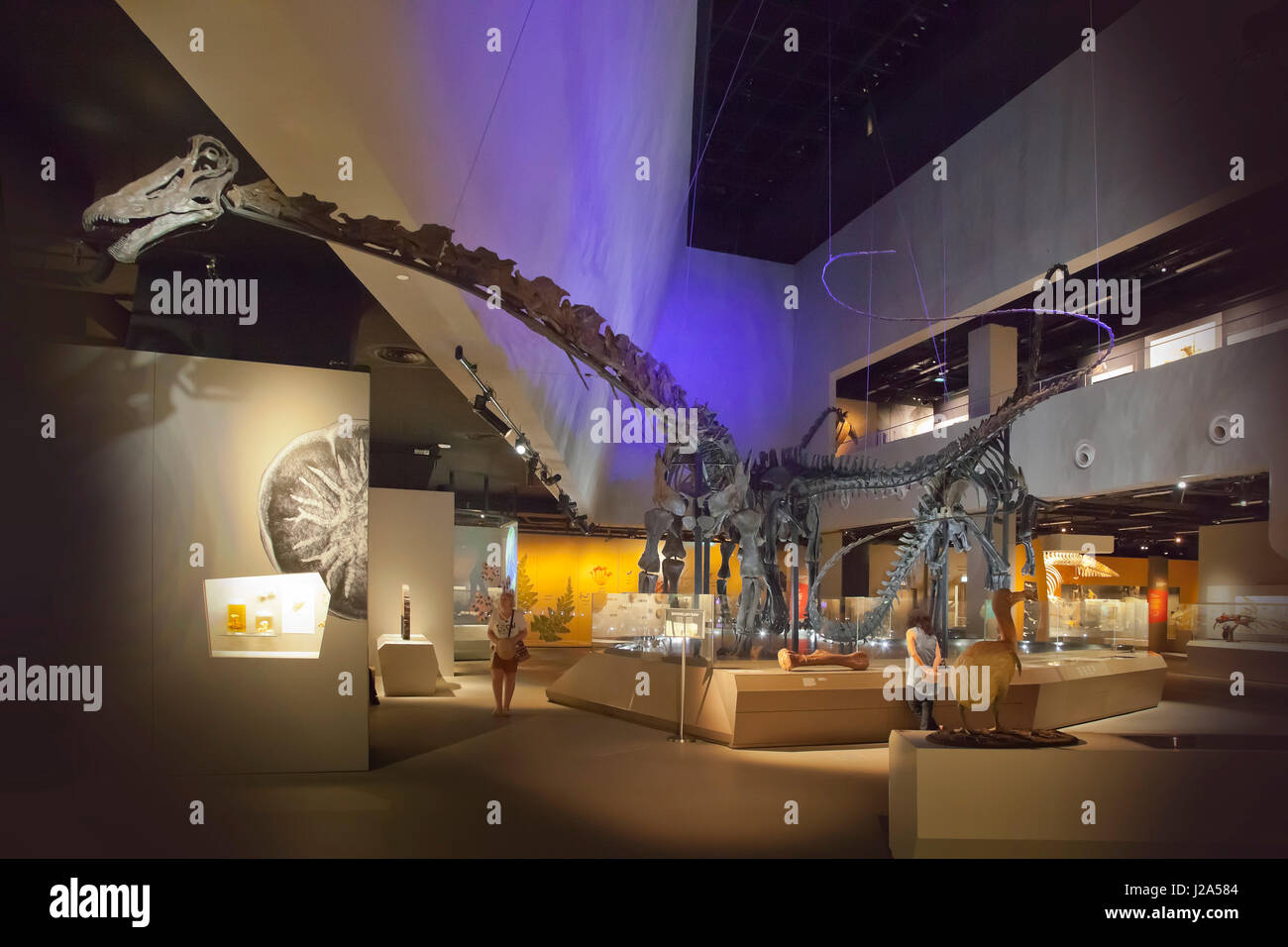 Sauropod dinosaur skeletons on display at the Lee Kong Chian Natural History Museum, Faculty of Science, National - Stock Image