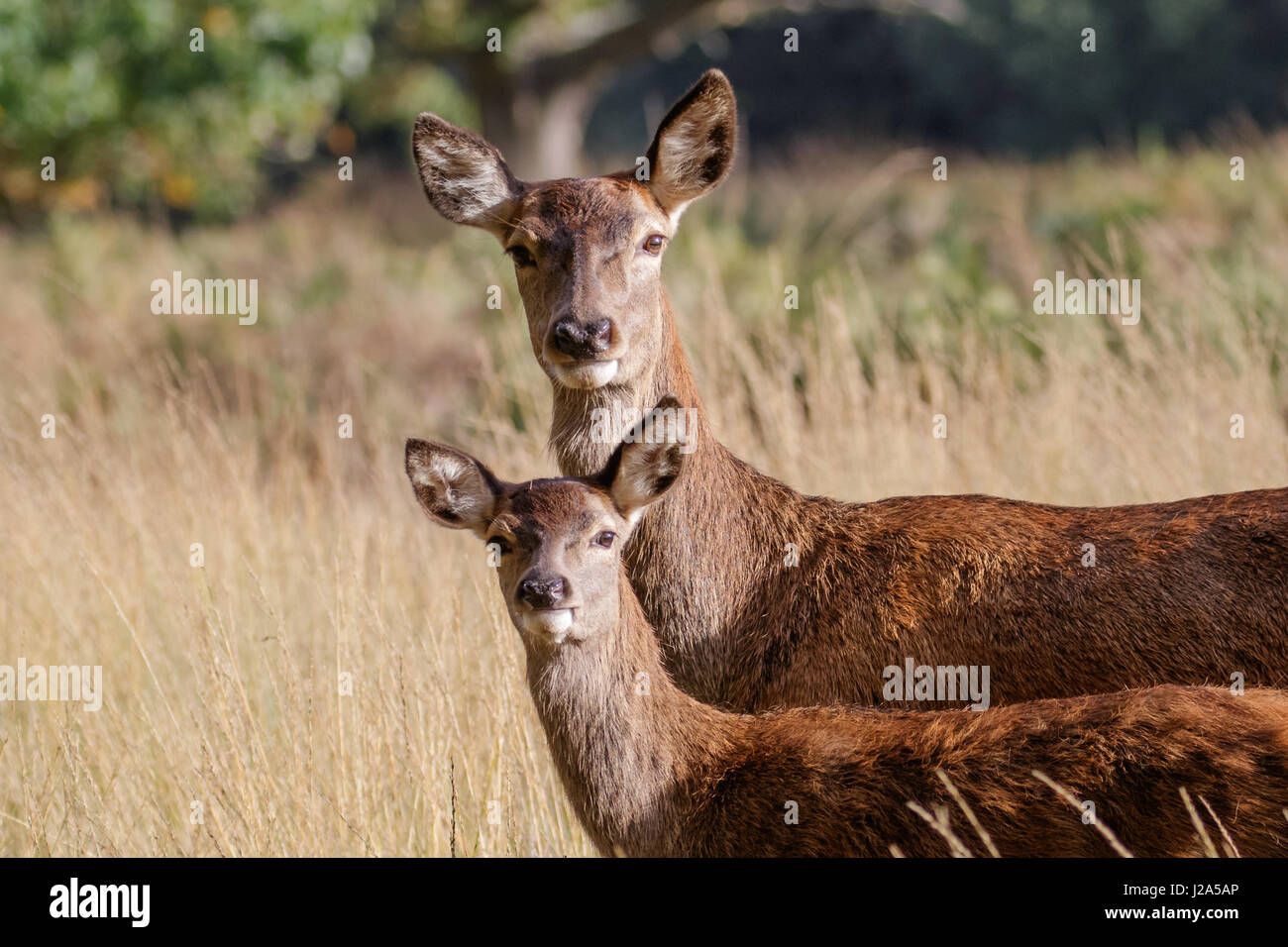 Red Deer female hind mum mother and young baby calf (Cervus elaphus) - Stock Image