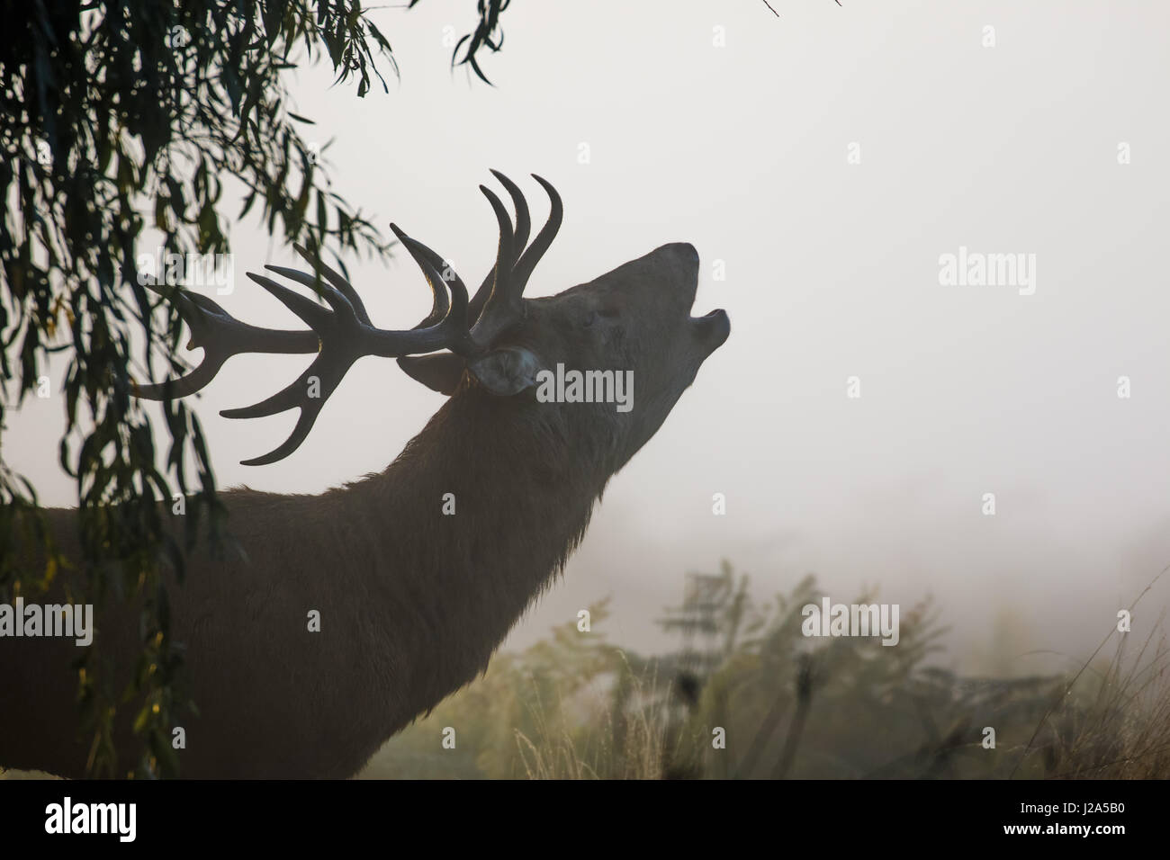 Red Deer rut stag (Cervus elaphus) bellowing or roaring on a misty morning - Stock Image