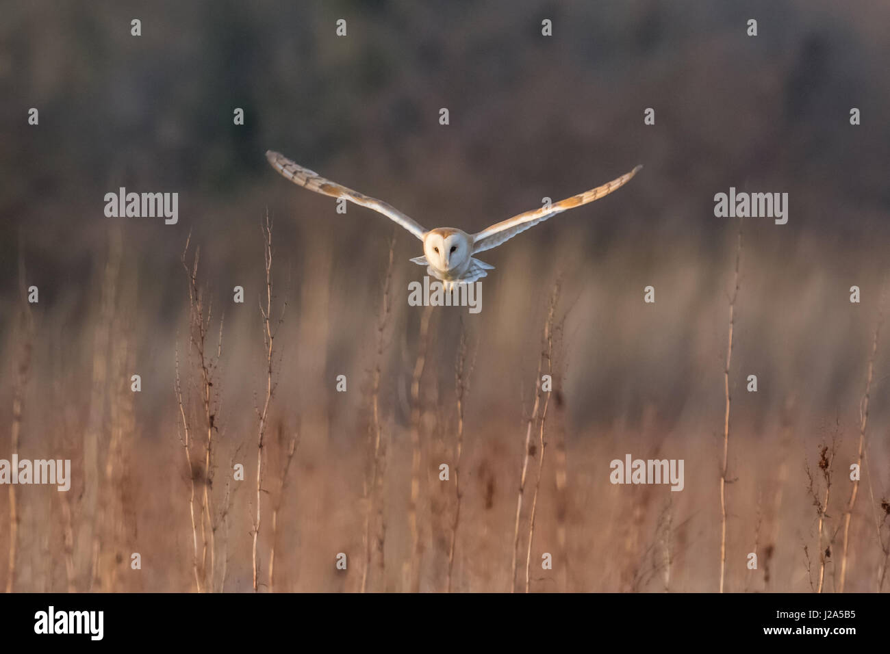 Barn Owl (Tyto alba) hunting over a meadow at sundown - Stock Image