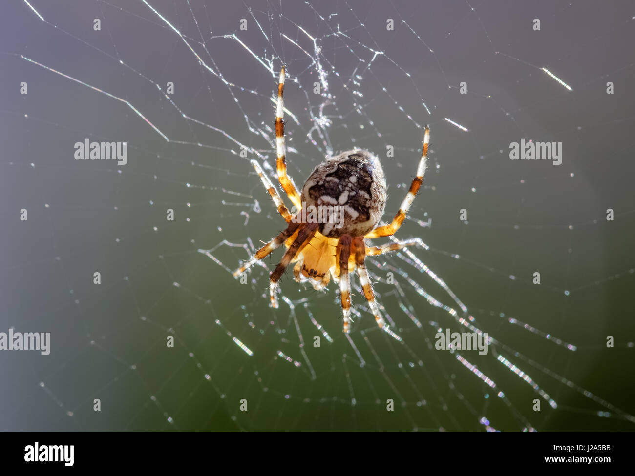 Back lit Garden spider (Araneus diadematus) in web - Stock Image