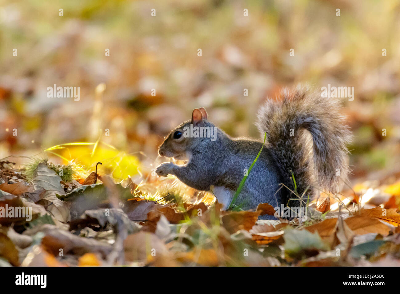 Grey or Gray Squirrel (Sciurus carolinensis) foraging for Sweet Chestnuts, in an autumn wood - Stock Image