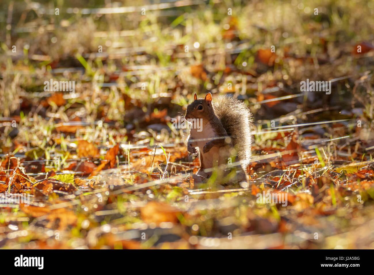 Grey or Gray Squirrel (Sciurus carolinensis) foraging in an autumn wood - Stock Image