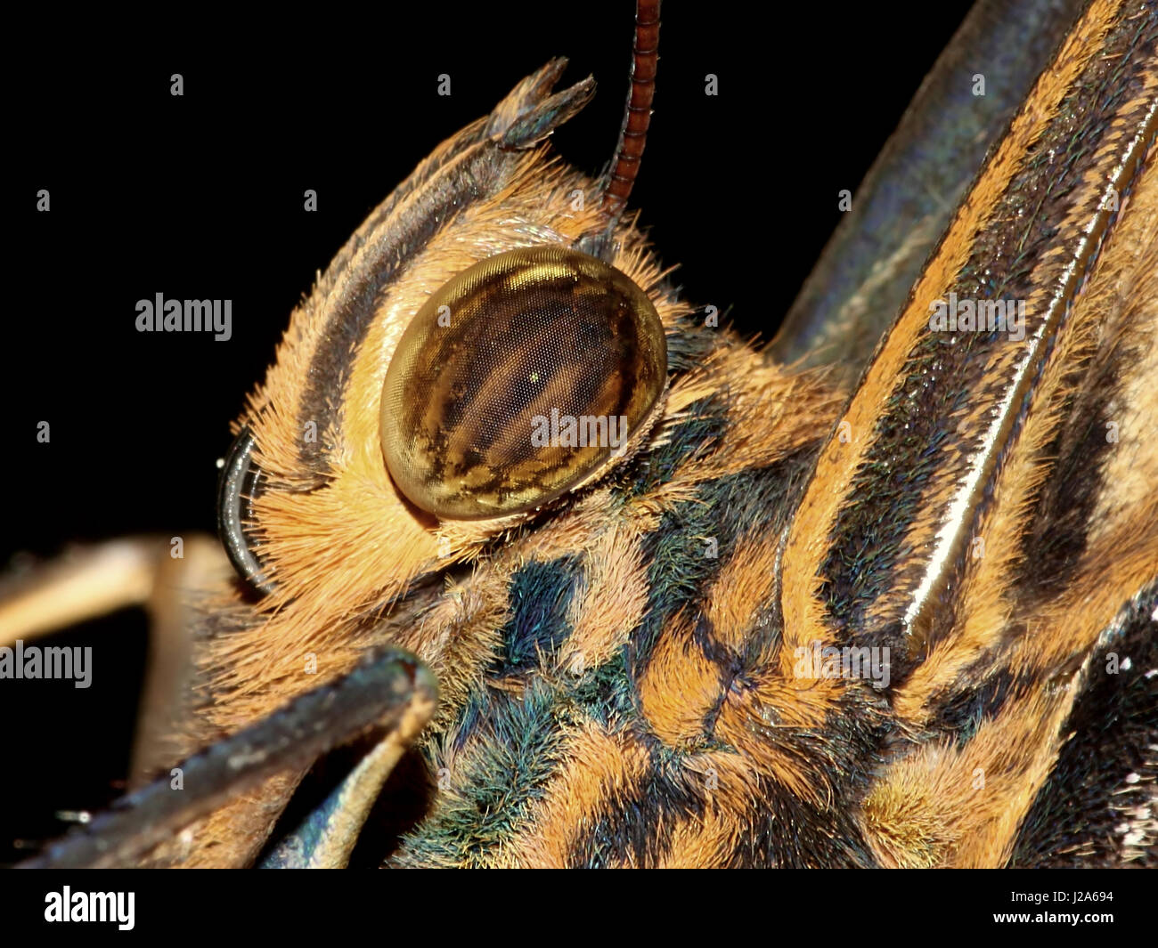 Extreme close up of the head of a South American Yellow edged Giant Owl butterfly (Caligo atreus). - Stock Image