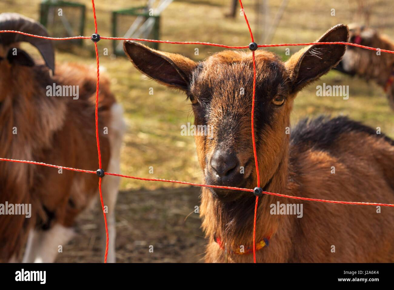 Electric fence for livestock farming  Shepherd grazing for