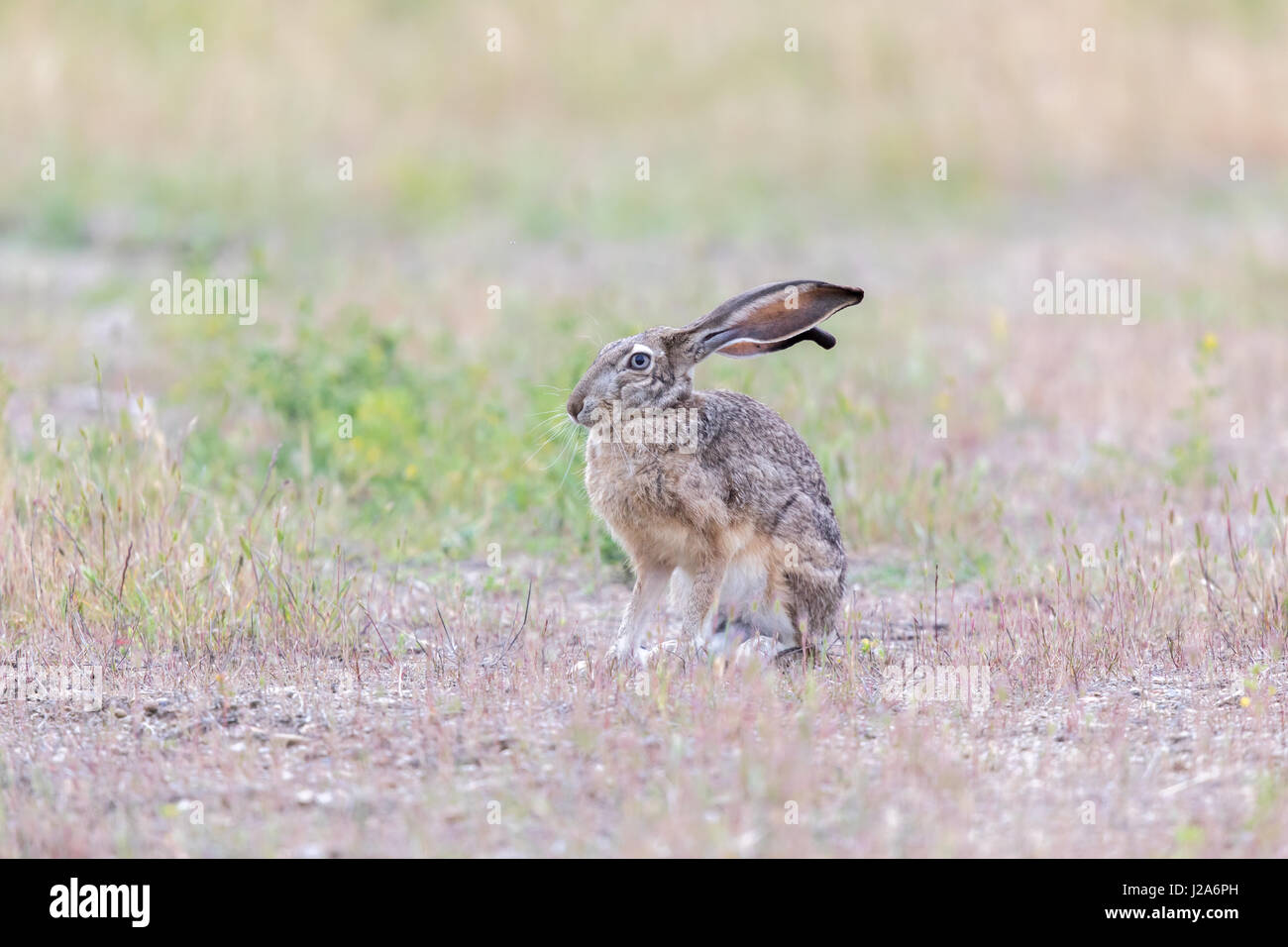 Alert Black-tailed Jackrabbit (Lepus californicus). - Stock Image