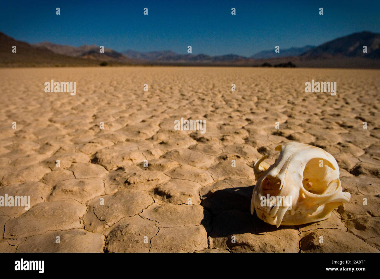 A barren desert of death with an animal skull on a dried up lake bed in Death Valley, USA. - Stock Image