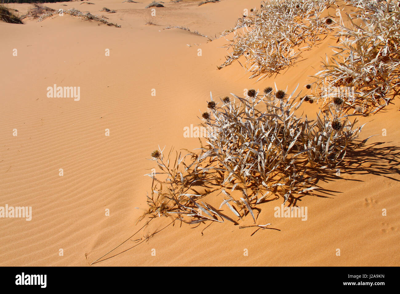 Dried out plant in red sand of desert - Stock Image