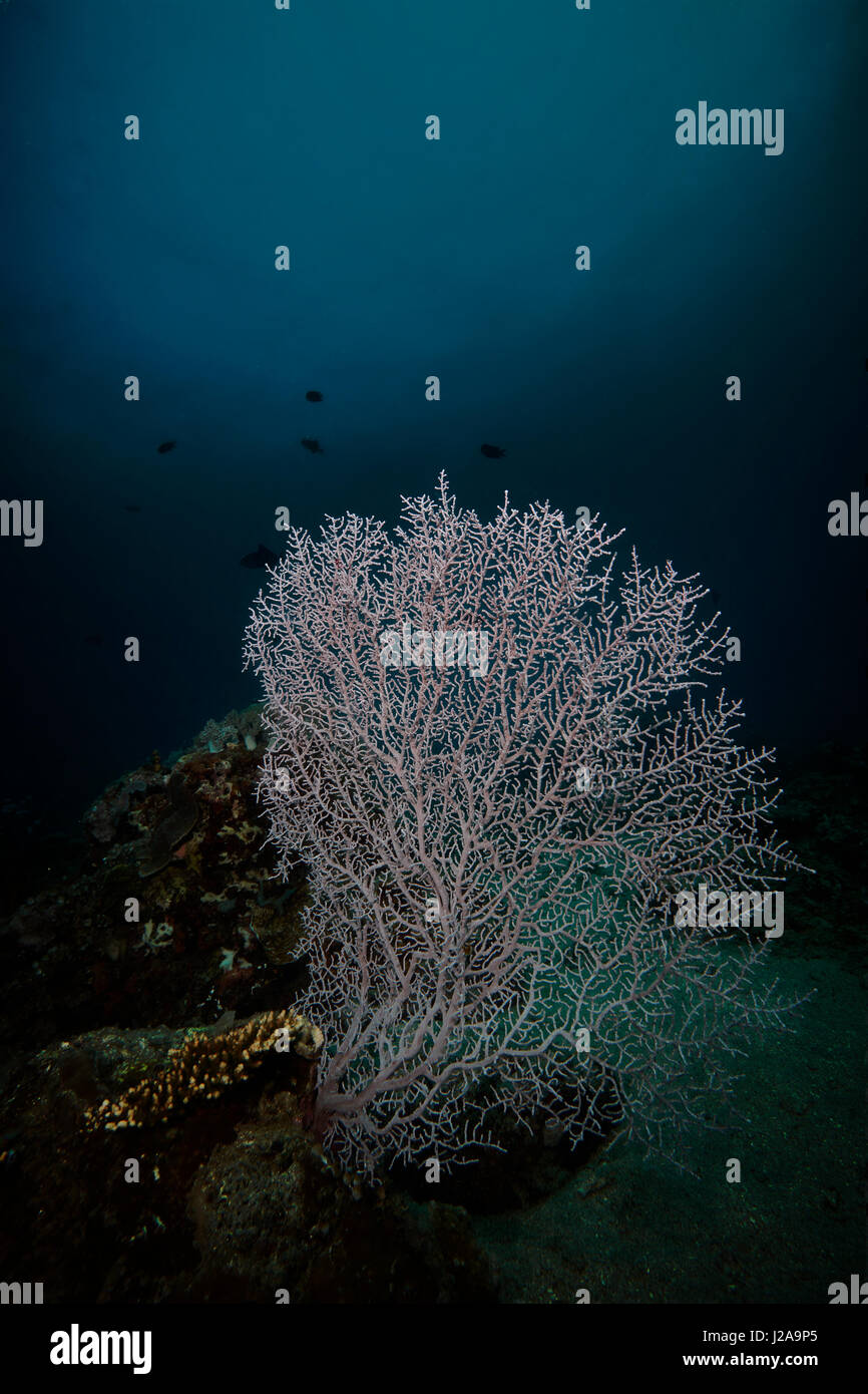 Coral Sea Fans - Stock Image