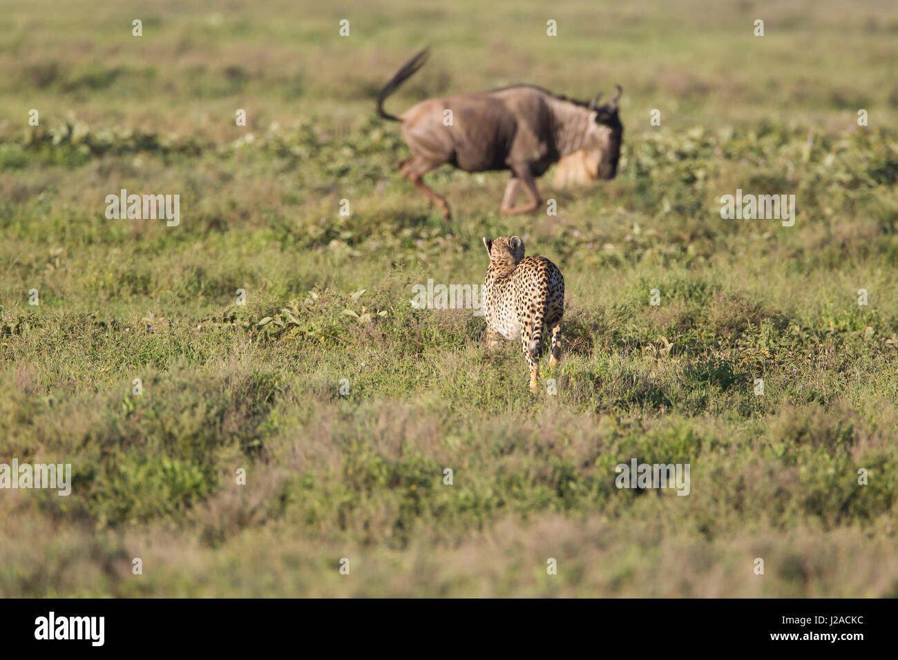 A cheetah closely stalks a wildebeest running by on migration - Stock Image