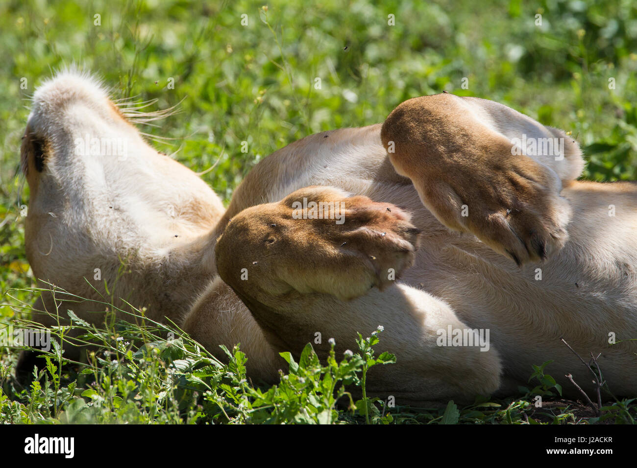 Lioness lying on back, head leaning back, upper body shown, paws curled in air - Stock Image