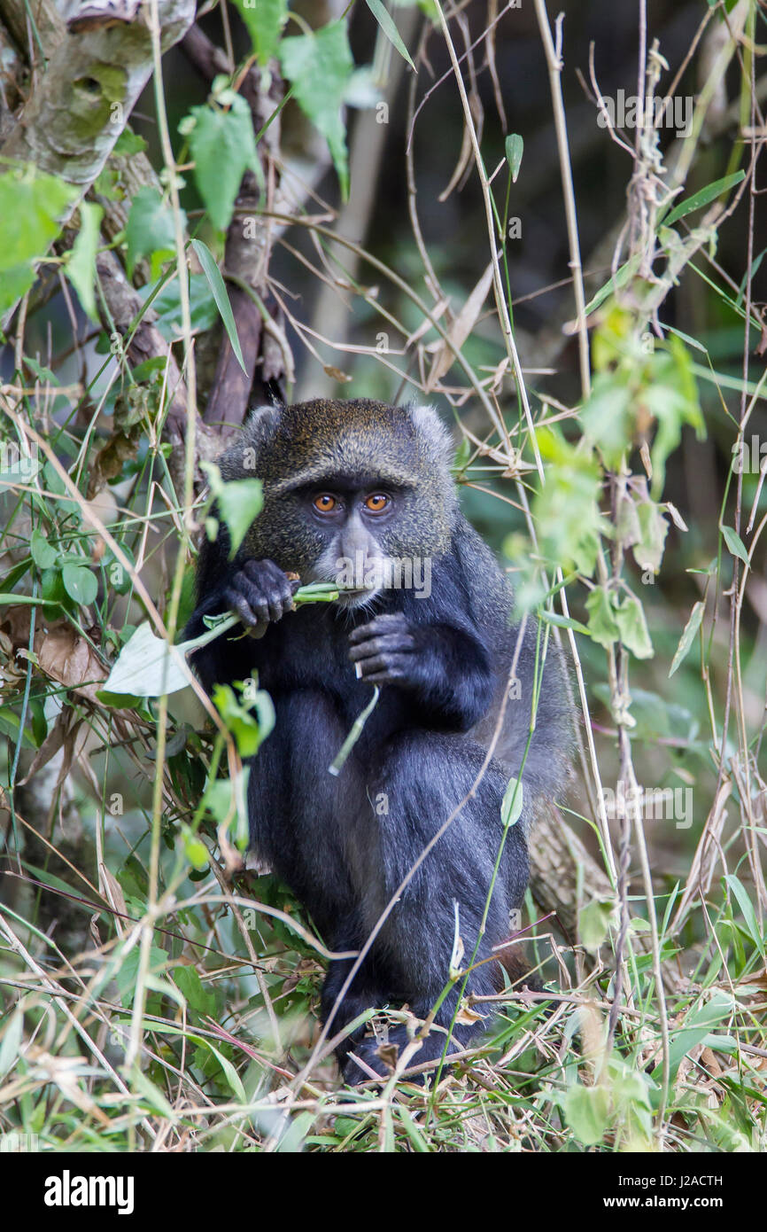 Blue Monkey (Cercopithecus mitis) crouched in vines eating while looking at the camera, Arusha National Park, Tanzania - Stock Image