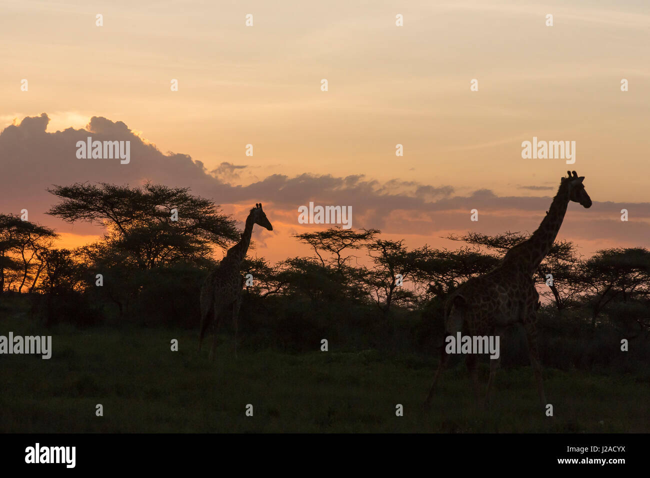 Two silhouetted Masai giraffes walk by darkened jungle in evening after sunset, clouds formations, yellow to orange - Stock Image