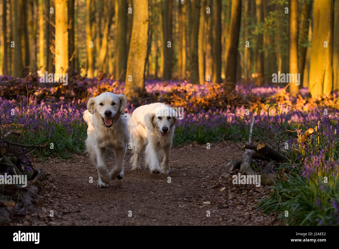 Two golden retrievers in the Dockey Wood bluebells at sunset - Ashridge Estate, Hertfordshire - Stock Image